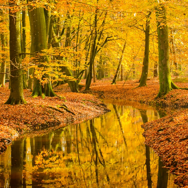 Fall Beech tree forest creek
